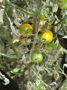 tomato-plant-disease