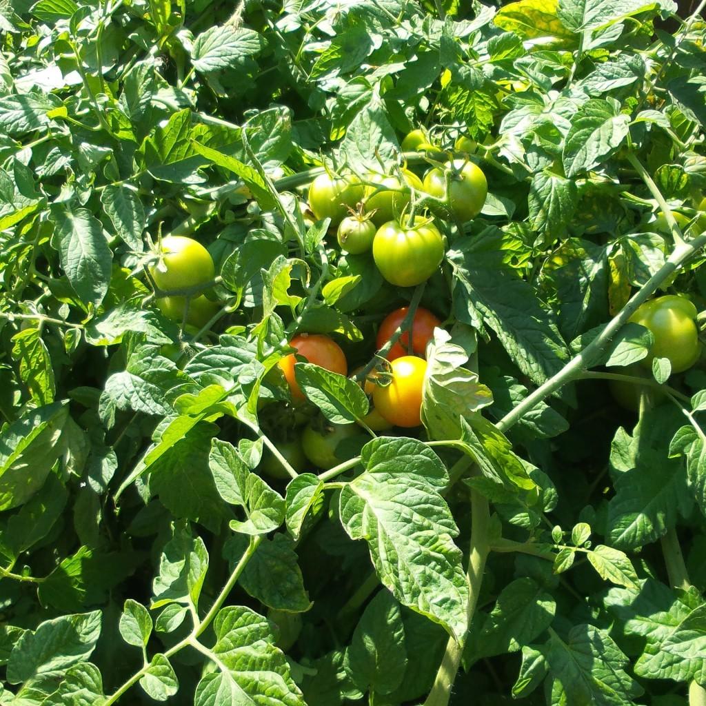 organic tomato kits