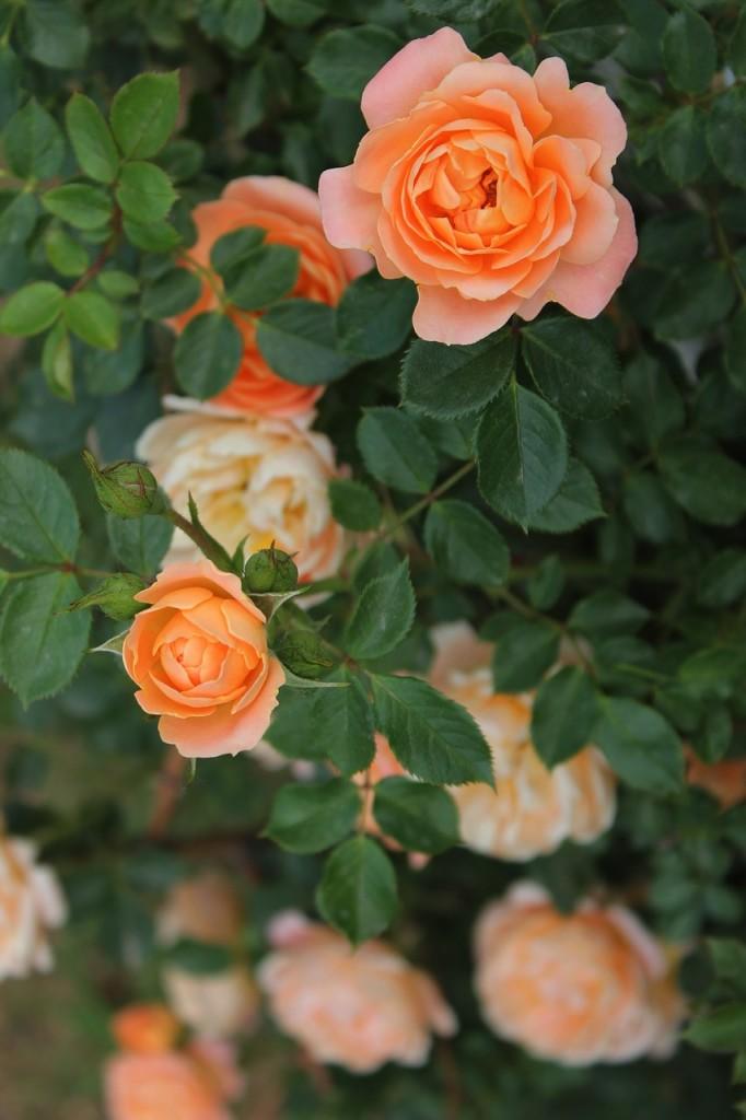 organic rose gardening