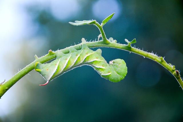 tomato plant hornworm